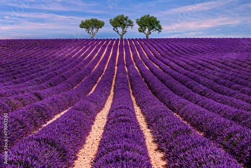 Keuken foto achterwand Lavendel Lavender field Summer sunset landscape with tree