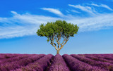 Lavender field Summer sunset landscape with single tree