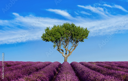 Lavender field Summer sunset landscape with single tree - 79043488