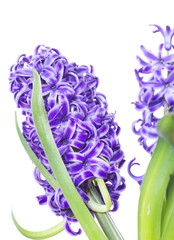 Spring hyacinth flower isolated