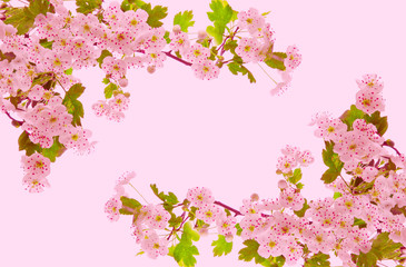Cherry blossoms .