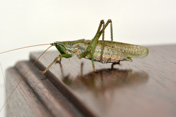 Grasshopper on table