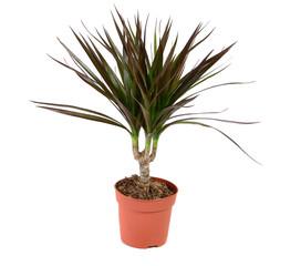 Dracena plant
