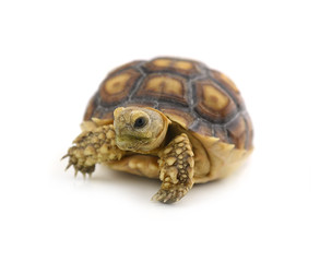 Desert tortoise isolated on white background