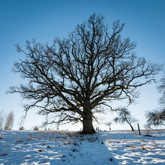 old oak tree in winter © Martins Vanags