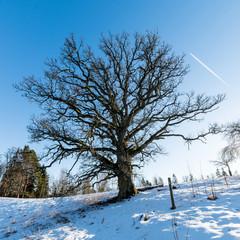 old oak tree in winter