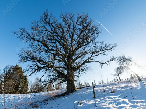 old oak tree in winter © martinsvanags