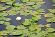 a single white lilypad bloom - 79055845