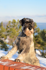 Schnauzer outdoors on a winter day