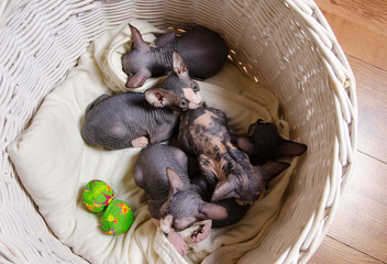 Aerial Shot of Sphynx Kittens Resting in a Basket