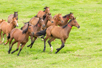 horse herd running on the field