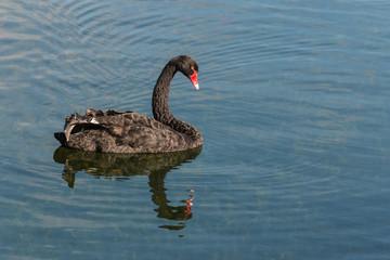 black swan floating on lake