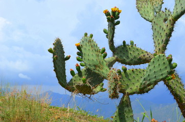 Exotic catus tree in Andes mountains in Colombia