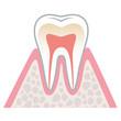 歯の断面図 健康な歯