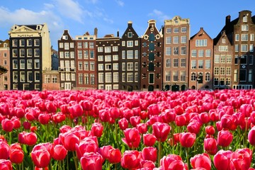 Vibrant pink tulips with canal houses of Amsterdam, Netherlands