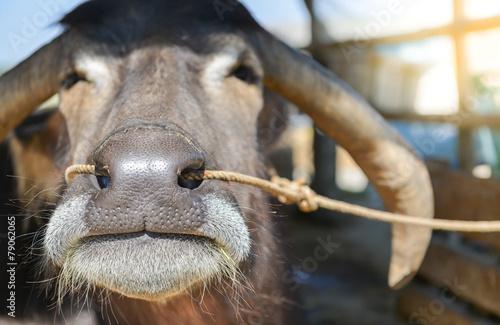 Plexiglas Buffel close-up of buffalo nose