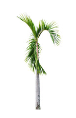 Betel palm tree isolated on white.