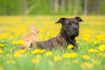 American staffordshire terrier with little rabbit on its back
