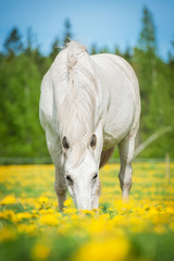 White horse on the pasture with a lot of dandelions