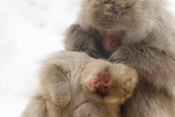 Snow monkey at the jigokudani monkey park