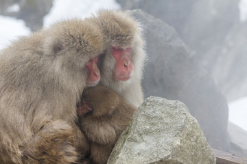 Snow monkey at the jigokudani monkey park