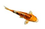 Fototapety Koi fish isolated on white background