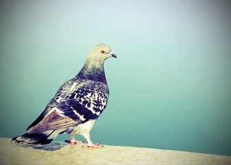 pigeon on a wall near the sea