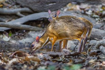 Male and Female Lesser Mouse Deer drinking water in nature