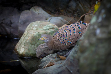 Close up of male Grey Peacock-Pheasant drinking water