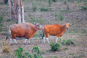 Couple Male and female of  Banteng(Bos javanicus )