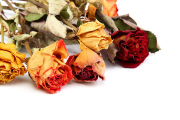 Dry rose on a white background.