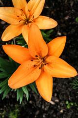 Wunderschöne Lilie im Frühling