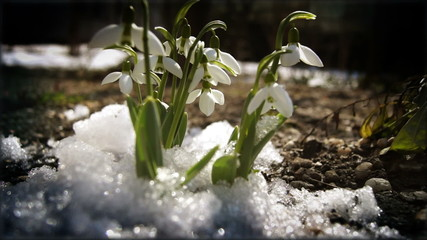 melt snow and snowdrops