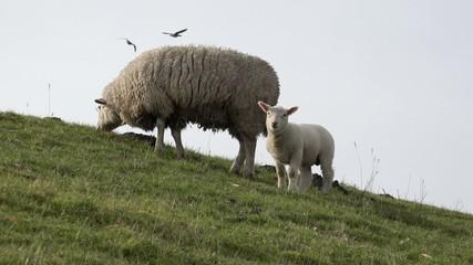 Vögel fliegen über Wiese mit Schaf und Lamm