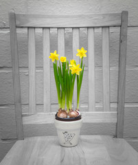 Narcissus Flower Pot on Chair