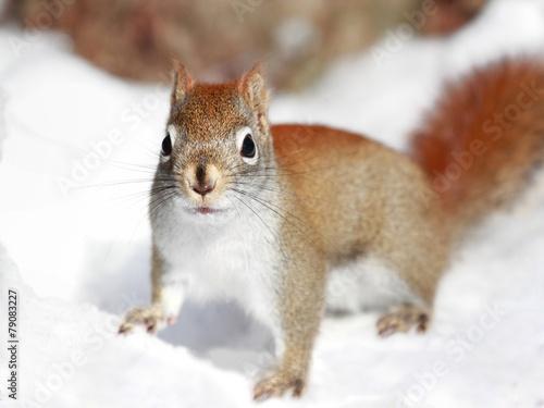 Staande foto Eekhoorn écureuil sur la neige