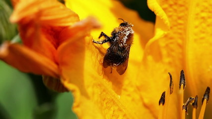 Bee on a yellow lily