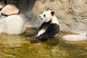 Giant panda sitting in water