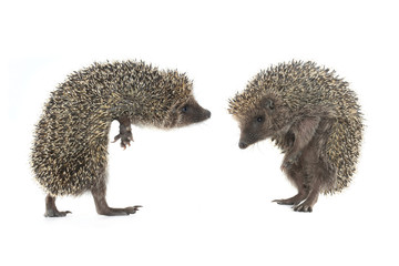 two hedgehog