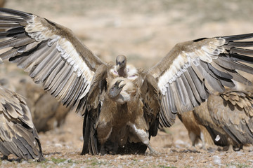 Two griffon vultures fighting.