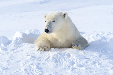Polar bear mother coming out freshly opened den