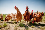 Photo: chicken on traditional free range poultry