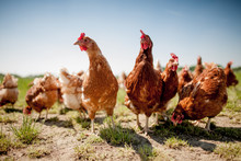 "Постер, картина, фотообои ""chicken on traditional free range poultry"""