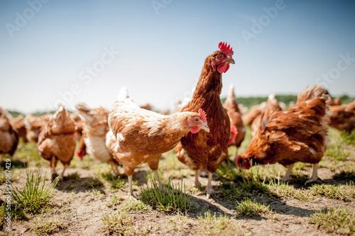 Staande foto Kip chicken on traditional free range poultry