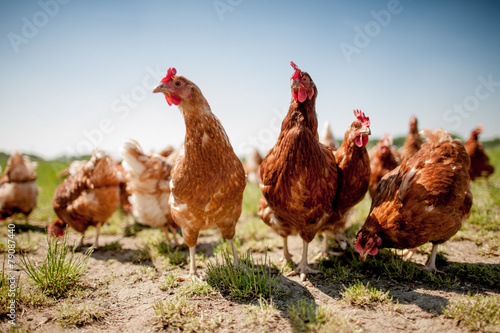 Foto op Canvas Kip chicken on traditional free range poultry