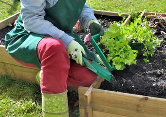 plantation de salade dans carré potager