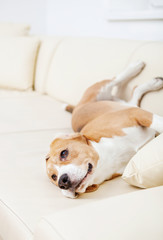 Lazy beagle on the white sofa