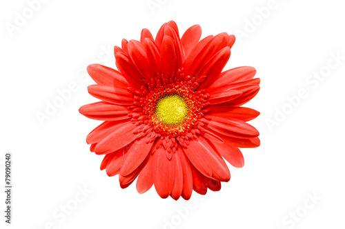 Foto op Aluminium Gerbera Close up of a red gerbera daisy flower