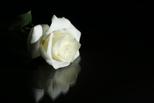 "Постер, картина, фотообои ""white rose on black background"""