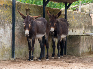 Two donkeys resting on the farm.